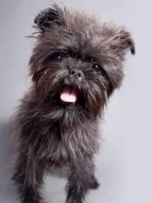 Small Dog Breed Affenpinscher