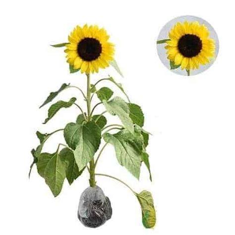jual tanaman bunga matahari impor bibit