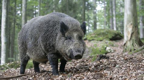 das wildschwein steckbrief des waldbewohners