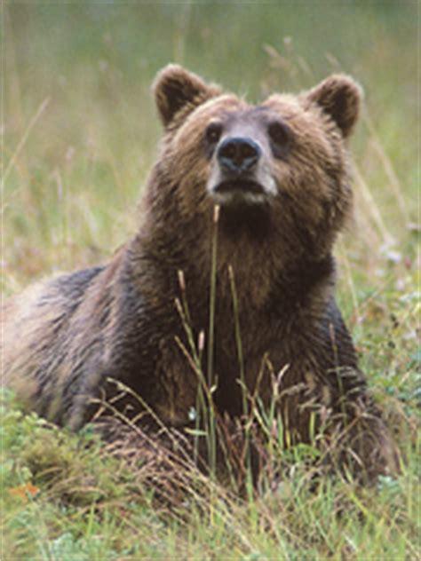 grizzly bear mp ringtones  animal
