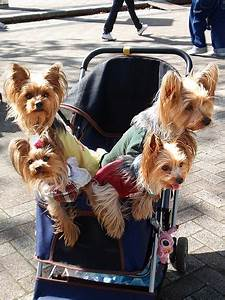 How To Keep Your Job Taking Care Of Newborn Yorkshire Terrier Pups