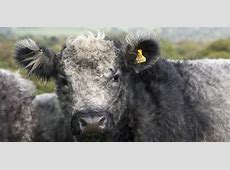 Blue Grey Cattle Slow Food in the UK