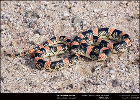 Longnosed Snake   Cave Creek Snakes