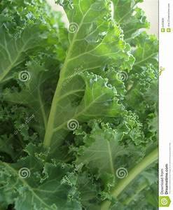 Curly kale leaves stock photo. Image of isolated, plant ...