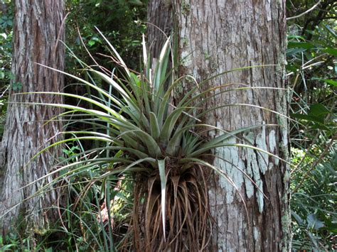 plants that grow in air big air plant clippix etc educational photos for students and teachers