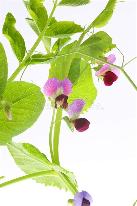 fiori di pisello pianta di pisello con i fiori immagine stock immagine di