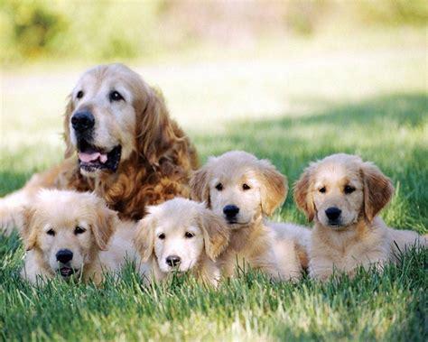 small non shedding dogs for families 100 small non shedding dogs for families small