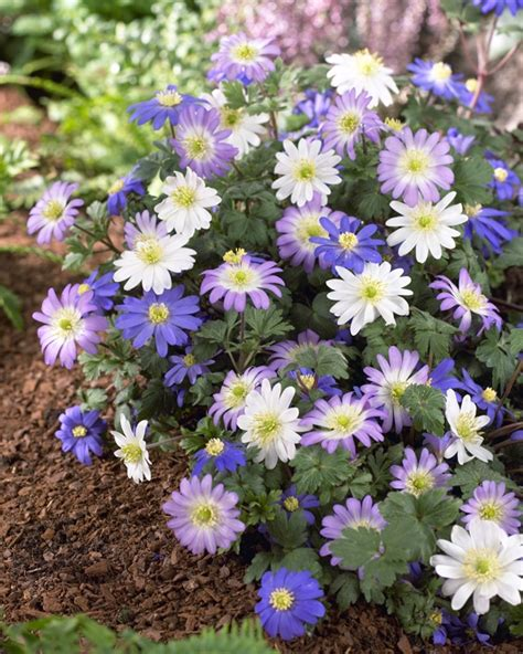 grecian windflowers growing tips bulbs are easy bulbsareeasy com plants list anemone blanda