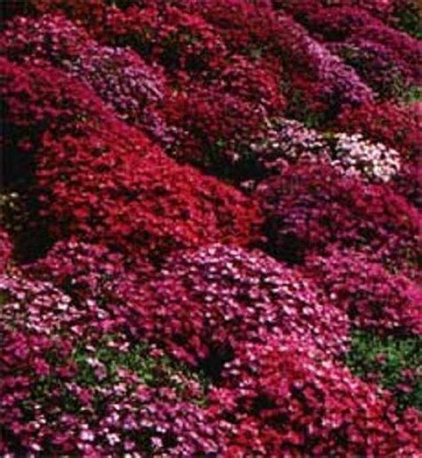 perrenial ground cover 50 aubrieta rock cress bright red perennial flower seeds ground cover 1000000000062777871