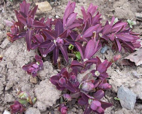 purple spurge christy s garden euphorbia dulcis chameleon purple spurge