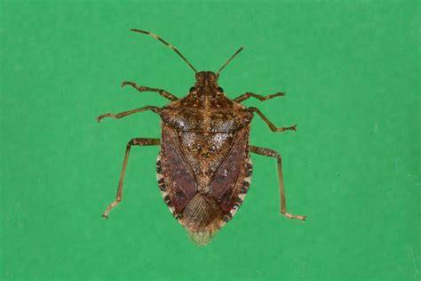 Stink Bugs on Soybeans and Other Field Crops   Ohioline