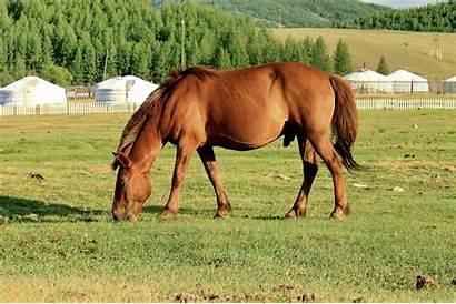 Mongol Horse Mongolian Cheval Short Stocky Koń