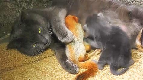 mama cat adopts  baby squirrels  raises
