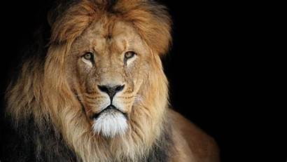 Lion Wallpapers Roaring 1080p Animal African Following