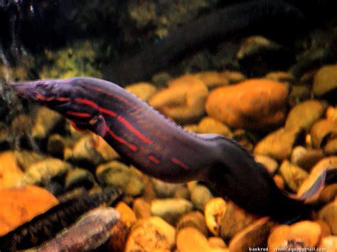 anguille aquarium eau douce mastacembelus erythrotaenia anguille 233 pineuse 224 bandes rouges aquaportail