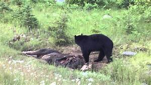 Black Bear Eats Dead Moose - YouTube