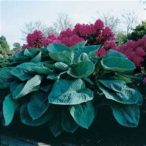 Funkie Big Daddy : funkia big daddy hosta big daddy ~ Michelbontemps.com Haus und Dekorationen