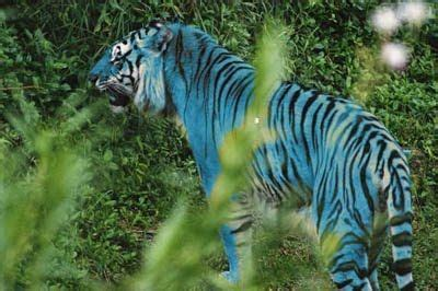 Rarest Tiger The World One Most