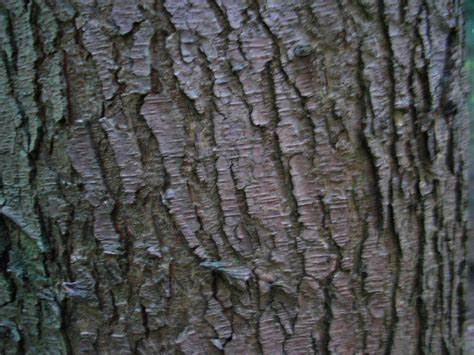 hemlocks tsuga douglas pseudotsuga naaldbomen herkennen op deze bomen site recognizing