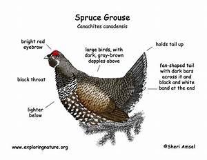 Grouse  Spruce