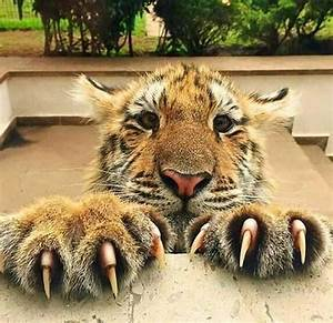 Tiger Claws are up to 5 inches in length. Forefeet have ...