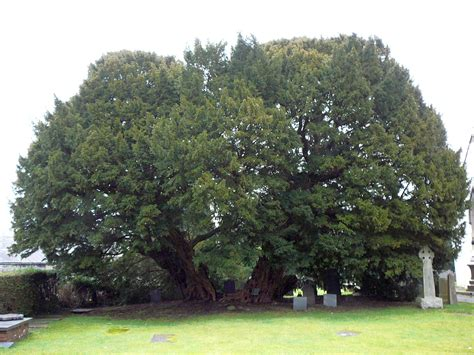 pictures of yew trees norse expansion ii a southwestward to england
