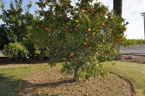 potatura arancio in vaso pianta arancio in vaso amazing pianta crategus arancio