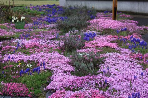 ground cover purple top ground cover with red foliage wallpapers