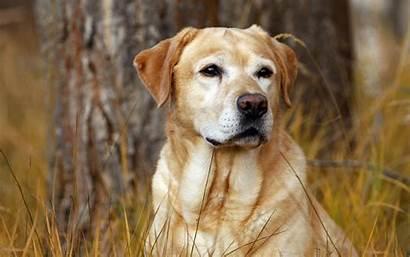 Dog Screensavers Wallpapers Labrador