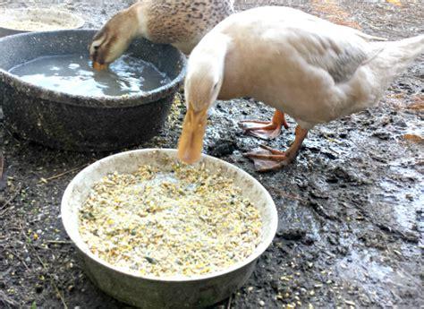 what do mallard ducks eat what do ducks eat backyard poultry countryside