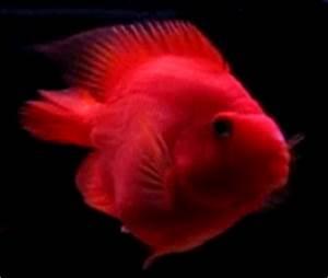 All About Aquarium Fish Blood Parrot Cichlids Fish Info