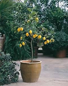 Planter Un Citronnier : citronnier en pot j 39 en veux un sur ma terrasse jaune ~ Melissatoandfro.com Idées de Décoration