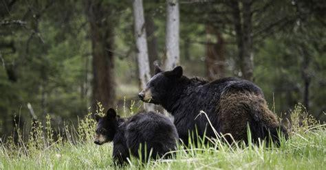 Kanādā agresīvs melnais lācis saplosa sievieti - Ārvalstīs ...