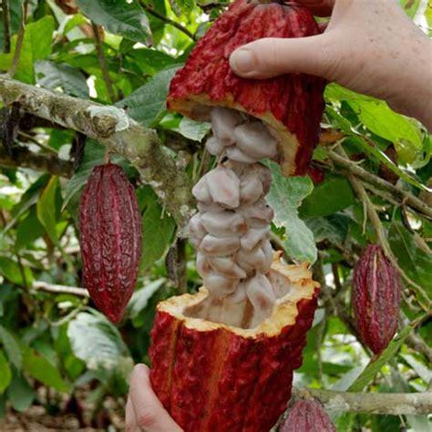 chocolate plants cacao tree britannica com