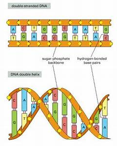 Unseen Rare Collection: DNA Structure,DNA Synthesis,DNA ...