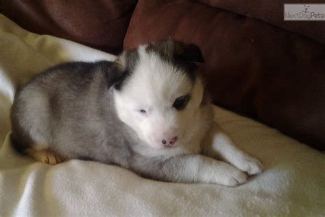 Miss Siberian Husky Puppy For Sale Near Columbia Jeff City Missouri Eec