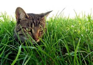 cats grass cat in the grass free stock photo domain pictures
