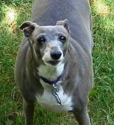 "foto de Blizz on Twitter: ""Fat greyhounds are cool but have you"