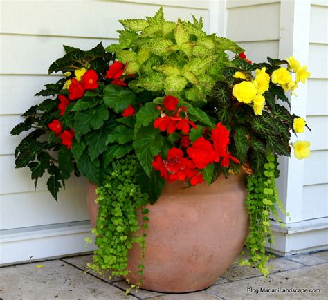 planting begonia tubers in pots orange and yellow begonia with electric lime coleus and creeping part of our series on