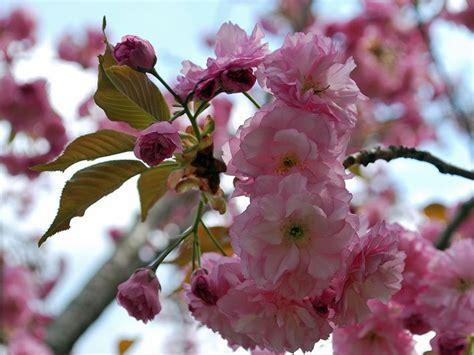 baum mit rosa blüten bl 252 tenb 228 ume