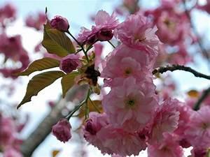 Rosa Blüten Baum : bl tenb ume ~ Yasmunasinghe.com Haus und Dekorationen