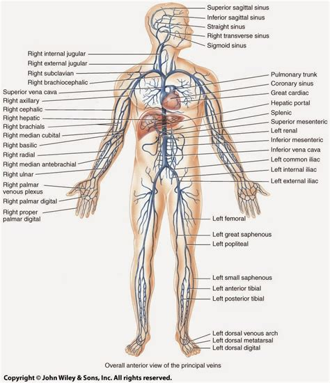 Recognise some special situations associated with the blood vascular system. Anatomy Dissections: April 2015