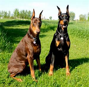 Breed spotlight on: Doberman