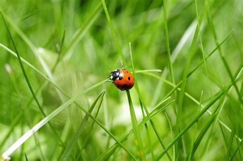 images de coccinelles photo gratuite coccinelle insecte nature image gratuite sur pixabay 796481