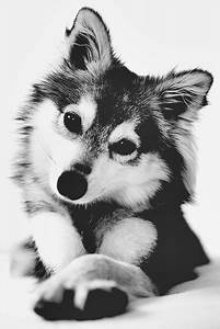 animals baby cute Black and White wolf husky photo Little ...
