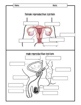male and female reproductive systems diagrams by mspowerpoint tpt