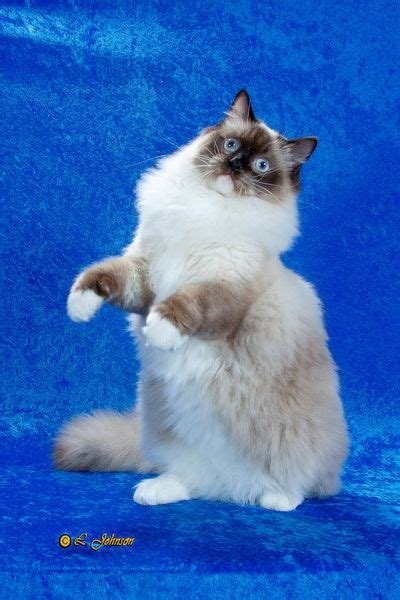 58 Best Ragdoll Cats Images On Pinterest  Kitty Cats