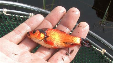 was fressen goldfische probleme mit freigelassenen goldfischen salzburg orf at