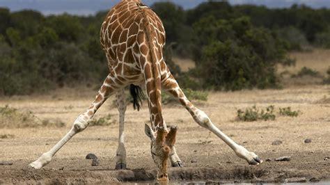 Giraffe height chart safari, safari height chart, safari jpg 1400x788