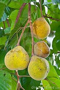 17 Best images about Food-Filipino Fruits on Pinterest ...